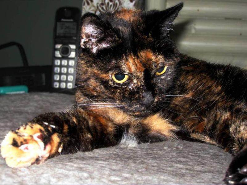 тиффани вторая из калифотнии - самая старая кошка