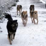 Острая проблема в Чите: Что делать с бродячими собаками ?