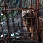 Сочинских медведей-алкоголиков будут реабилитировать в Румынии