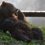 медведь-алкоголик из сочи