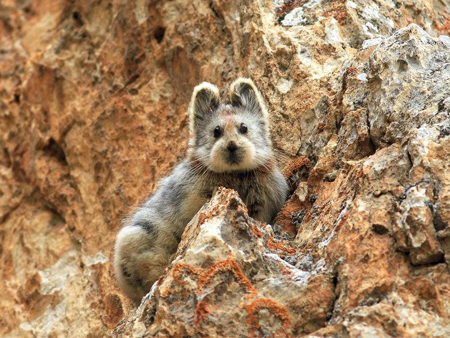Илийская пищуга - волшебный кролик