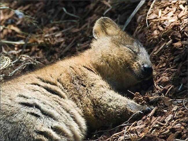 квокка спит