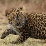 котенок леопарда