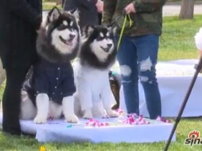 свадьба собак -Пекин