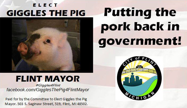 свинка - кандидат на выборах
