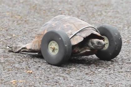 черепаха с колесами вместо лап