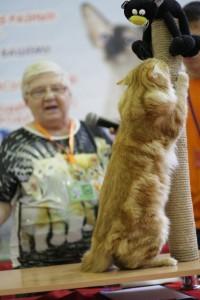 Сибирский кот на выставке