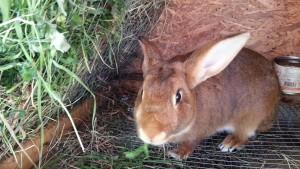 Кролик есть травку