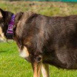 Великобритания: изъяли собаку, ожиревшую до крайней стадии, от гамбургеров