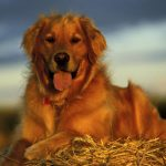 Австралия: пес спас семью от наводнения
