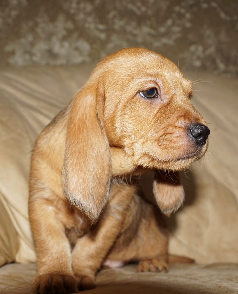 рыжий бретонский бассет щенок 2