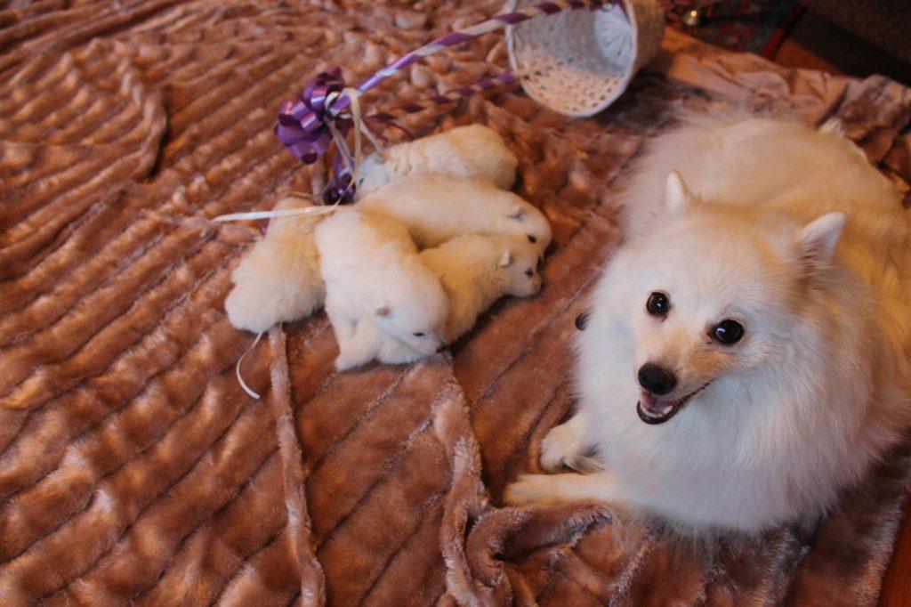 японский шпиц со щенками