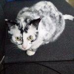 Витилиго: удивительный случай у кошки, которая была черной, а стала белой