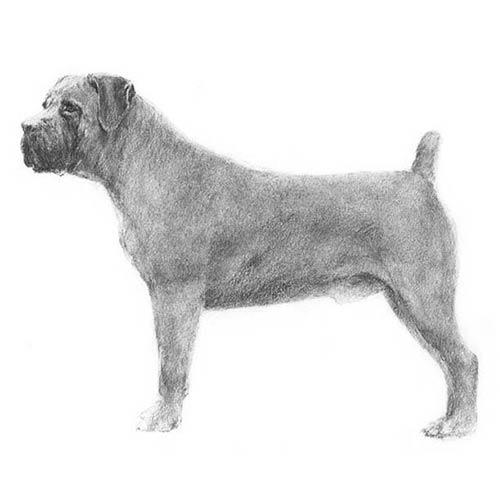Стандарт породы Бурбуль южноафриканский по AKC (American Kennel Club)