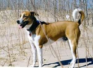 фото арубской деревенской собаки